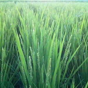 foretfarm-organic-朝日米(無農薬・無施肥)